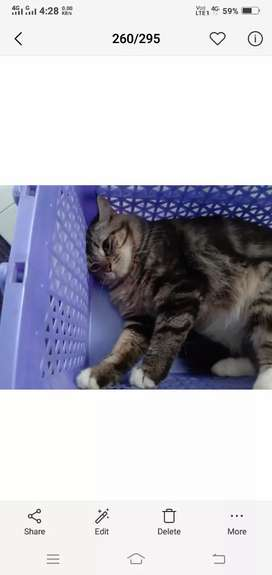 Persian tebby male cat 2 year 6 month for sell