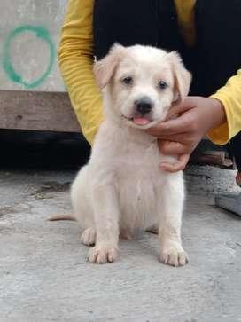 Anjing mix golden