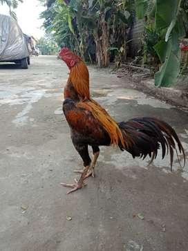 Ayam bangkok blurang