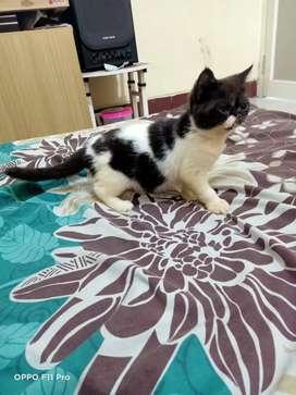 Kucing peaknose exo betina 3 bulan