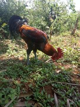 Ayam pelung juara