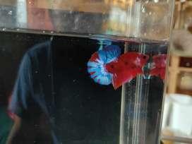 Ikan Cupang Hellboy Jantan (102)