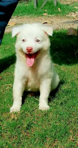 Pure Russian pink nose show class quality female for sale, age 2 month