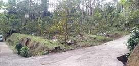 Kebun jambu siap panen Murah dingargoyoso