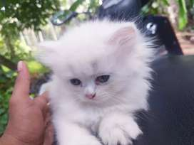 White and gold female kittens available