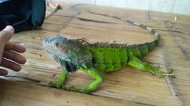 Iguana hijau columbia sesuai foto size 85cm