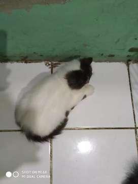 Kitten kucing persia flatnose longhair turunan peaknose