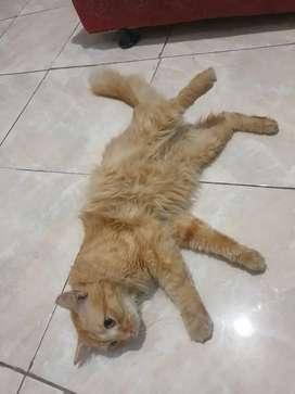 Kucing Persia 1thn++ , sudah Steril vaksin