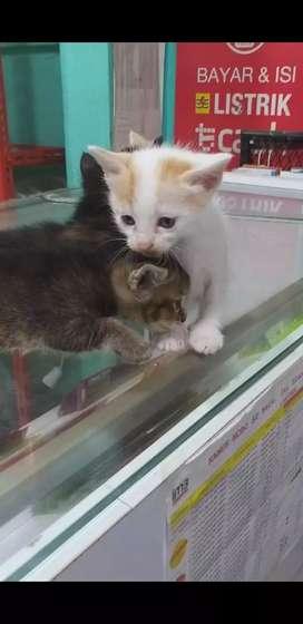 Kucing kitten anggora mix lokal