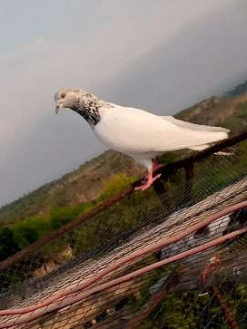 Pigeons for sale 1500