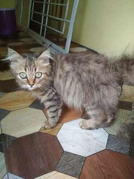 Kucing Persia cewek