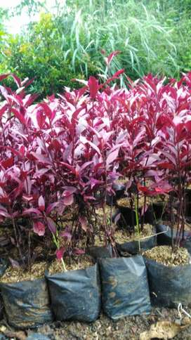 Erpah merah tanaman hias