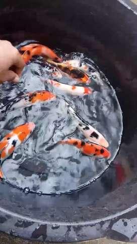Ikan koi ukuran 20cm up