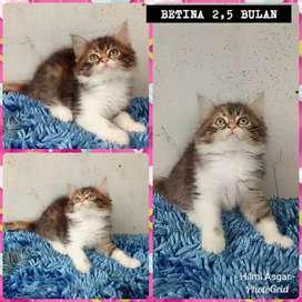 Kucing persia kitten betina 2,5 bulan