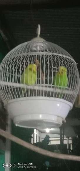 D jual burung sepasang burung parkit jinak