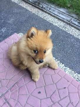 Jual anjing minipom