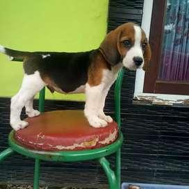 Beagle puppys stb,vaksin
