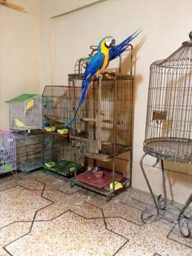 Macaw parrot (blue gold)