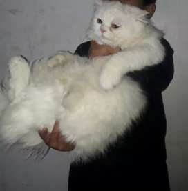 Persian cat male 7 month