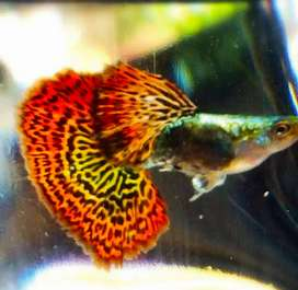 Red dragon guppy for sale