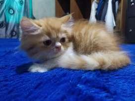Lepas adopsi kitten persia
