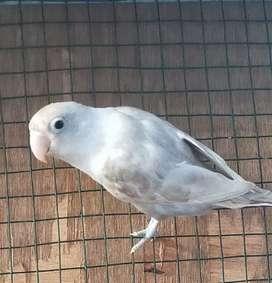 Lovebird Pastel Mouve