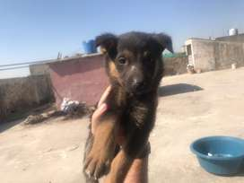 Gsd double coat male