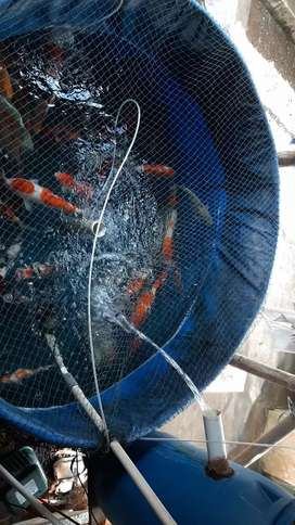 Ikan mas koi bibit dan indukan