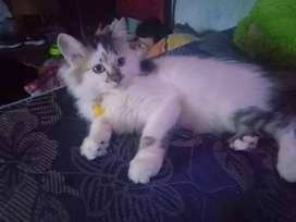 Kitten persia lucu