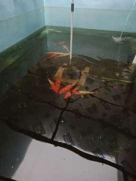 Ikan koi ukuran 25cm