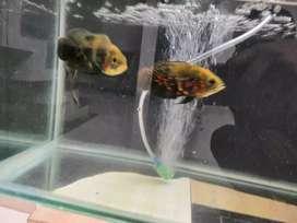 5 oscar fish 1 timber fish
