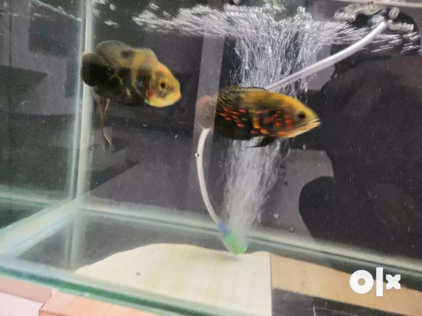 5 oscar fish 1 timber fish 0