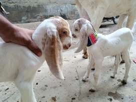Goat with 2 Babies for sale