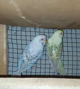 2 breeder pair for sale