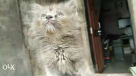 Grey Persian kittens for sale