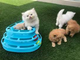 Vaccination done Persian kitten  lock down delivery
