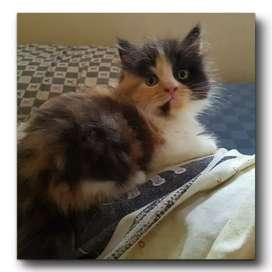 Lepas adop kitten persia