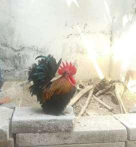 Dijual Ayam Kate Sepasang