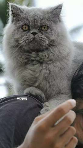 Russian blue stud Male full punch persian cat