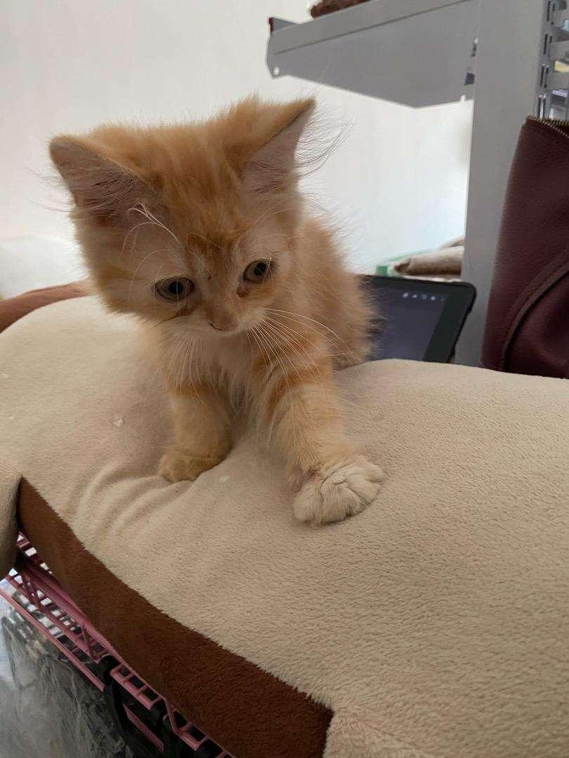 Kucing persia medium 0