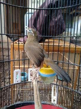 Burung Wambi Bahan