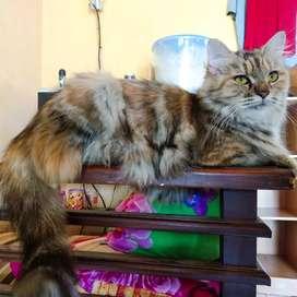 Kucing Betina Indukan Longhair