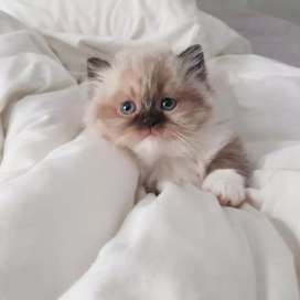 Persian kitten and Cats siamese,Ragdoll,Siberianand Bengal