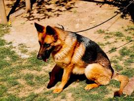 Breeder Stock Coat female