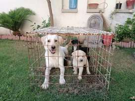 Labrador puppies for sell 26 days age