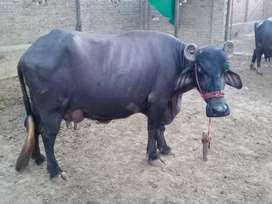 Farm Milking Animals For Sale cows,Buffaloes