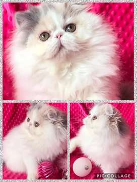 A1 quality Persian kitten for sale