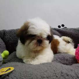 Shihtuz puppies available