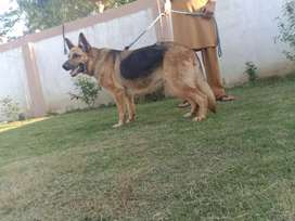 100%Confirm breeder huge size female double coat curved and long tail