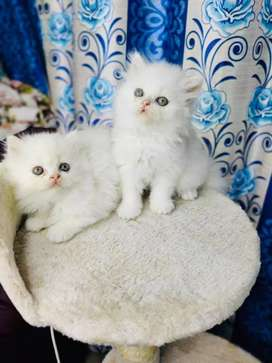 White kitten male and female for sale